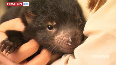 Feisty baby Tasmanian devils undergo first health check