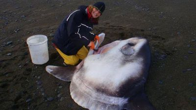 Scientist discovers new species of sunfish in New Zealand