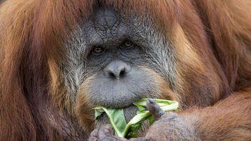The now-expecting orangutan Karta. (AAP)