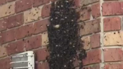 Walls packed with honeycomb as bees colonise home
