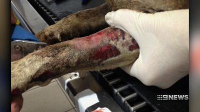 Dog found with horrific burns in WA may have been set on fire
