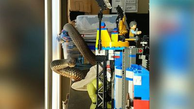 Snake catchers who wrangled a snake from child's lego set have seen worse