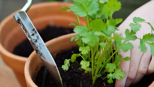 What's the secret to growing coriander?