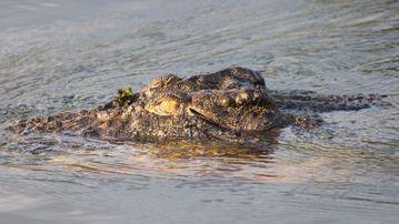 A saltwater crocodile. (AAP)