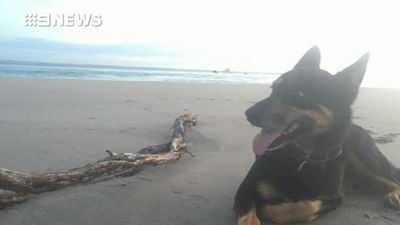 Family heartbroken after pet kelpie was fatally poisoned with bait ball