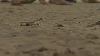 Dozens of baby turtles released onto NT beach