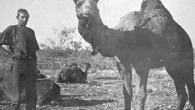 When camels were the semi-trailers of Australia