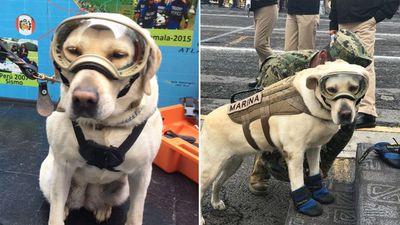 Mexican rescue dog who saved 52 lives combs rubble after quake