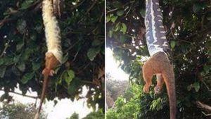 Hungry Byron Bay carpet python swallows entire ringtail possum