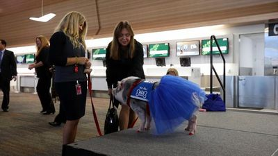 San Francisco International Airport debuts adorable therapy pig called Lilou