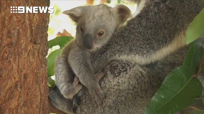 Rare white koala joey born at Australia Zoo - and it needs a name