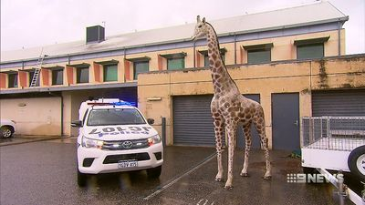 Giraffe returned to owner following brazen robbery