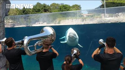 US brass band serenades curious beluga whale