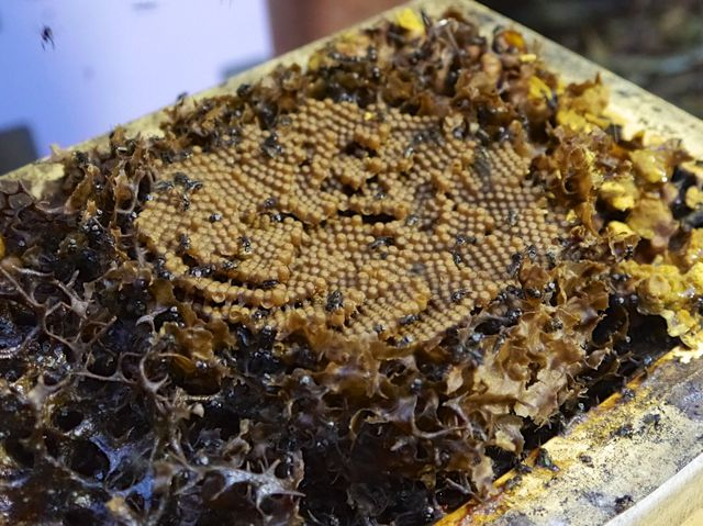 Sourcing stingless bees