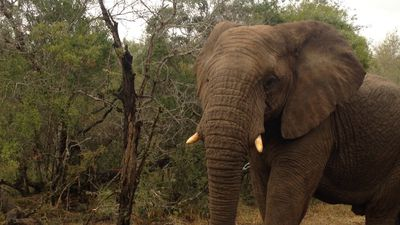 African safari: The first sign an elephant is nearby is a loud cracking sound
