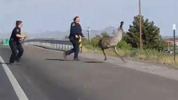New Mexico officers try to wrangle the runaway emu. (Facebook/Alyssa Ilano)