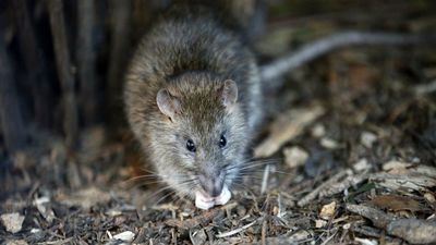 Rodents chase away Nigerian president