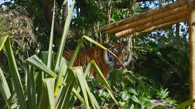 Up close with Sumatran tigers at Taronga Zoo's new Tiger Trek