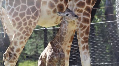 Two newborn giraffe calves a tall order for zookeepers