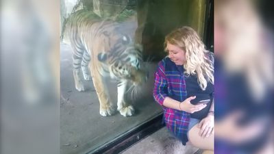 Tiger snuggles up to pregnant woman in zoo