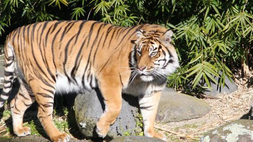 New Zealand zookeeper killed in tiger attack