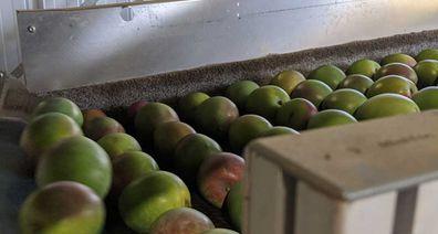 Mangoes being polished on the conveyor belt