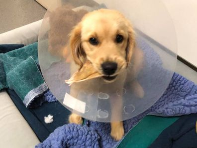Sophie after her second surgery.