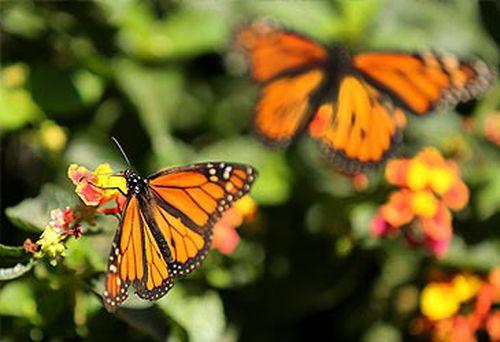 Monarch butterflies (Getty)