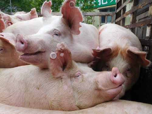 The scale of the swine fever outbreak may be bigger than officials estimate, as some farmers say the disease is not always recognised locally.