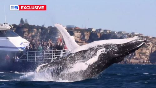 A close encounter with a humpback whale off South Head.