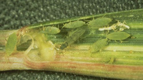 A colony of Russian wheat aphids in a wheat leaf.