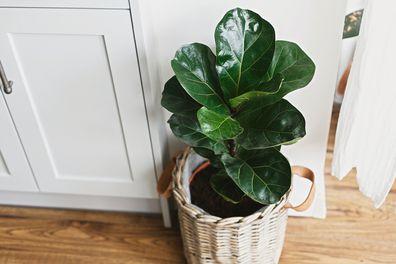 Big fiddle leaf fig tree in stylish modern pot in a home