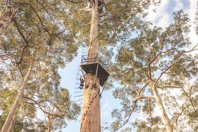 <strong>The Pemberton Climbing Trees, Western Australia</strong>