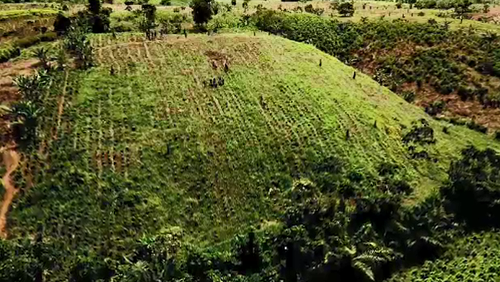 Troops clear hectare after hectare of coca plants. (9NEWS)
