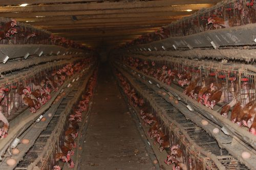 There are 10 million hens whose entire lives are spent in a barren wire cage the size of an iPad.