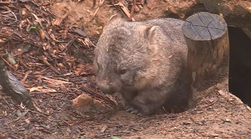 It is expected the two wombats will travel more easily due to their preference for staying in enclosed spaces.