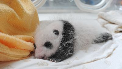 A panda cub in an incubator only days after its birth at the China Conservation and Research Centre. (AAP)