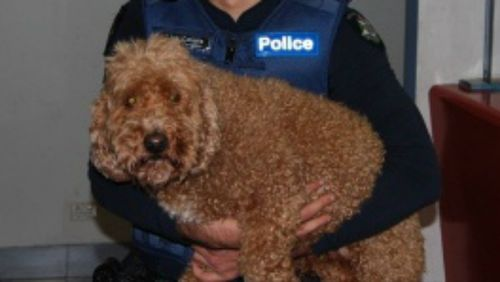 A stolen spoodle known as Big Red has been returned to its owners after being stolen in March. (Victoria Police)