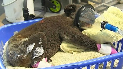 An injured koala is treated at the Port Macquarie Koala Hospital.