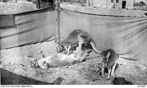 Kangaroos proved fascinating for locals and foreigners alike. (Australian War Memorial)