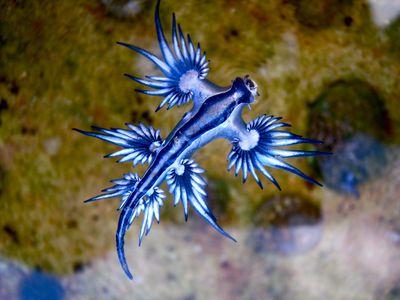 <strong>Blue ocean slug</strong>