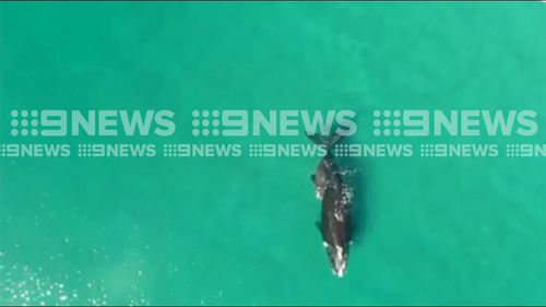 At first it appeared the whale was one her lonesome... Picture: 9NEWS