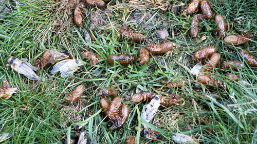 Love is in the air this spring in the eastern United States, where billions of cicadas are appearing in the biggest emergence event since 2004.