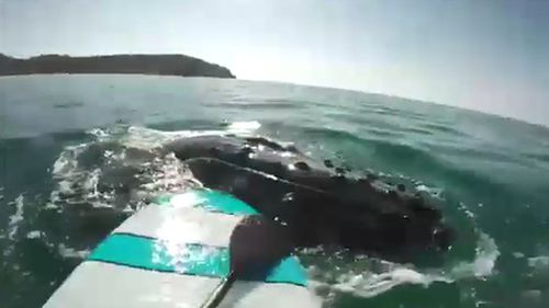 A paddle boarder has had a close encounter with a pod of whales. Picture: Supplied