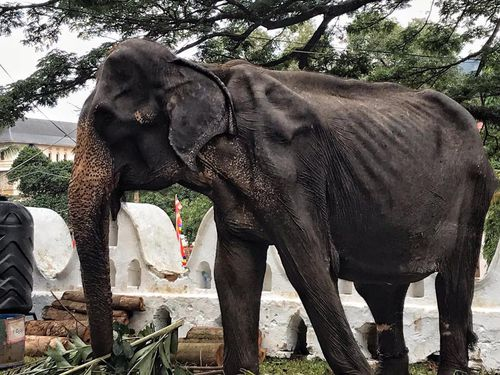 Tikiiri is a 70-year-old Asian elephant.