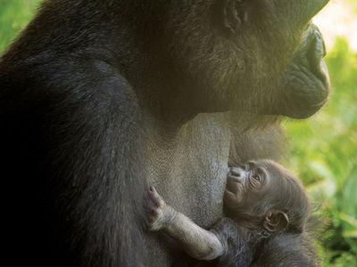 Philly Zoo refuses to call its baby gorilla Harambe