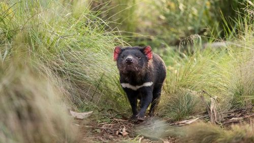 Tasmanian devils born on mainland Australia