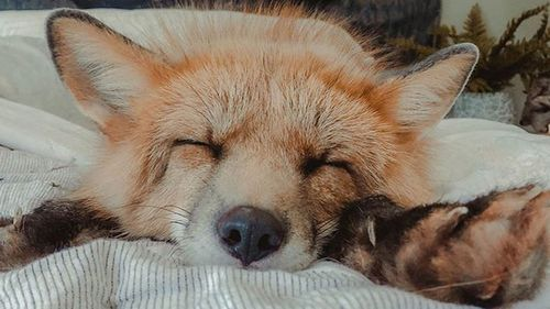 Fig the fox gets prosthetic paw