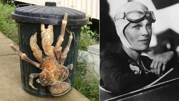 Another theory to emerge from the hunt for Amelia Earhart is that she and her navigator, Fred Noonan, died of starvation on the remote Nikumaroro Island and were eaten by huge coconut crabs.