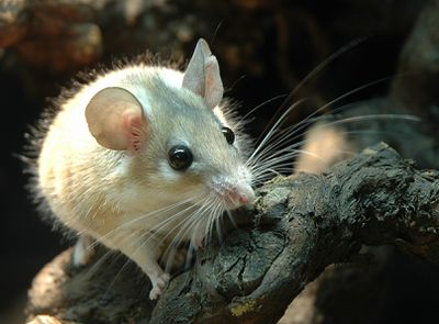 <strong>#10 Arabian spiny mouse</strong>